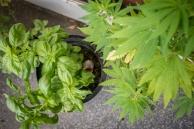 sur le balcon, basilic et cannabis